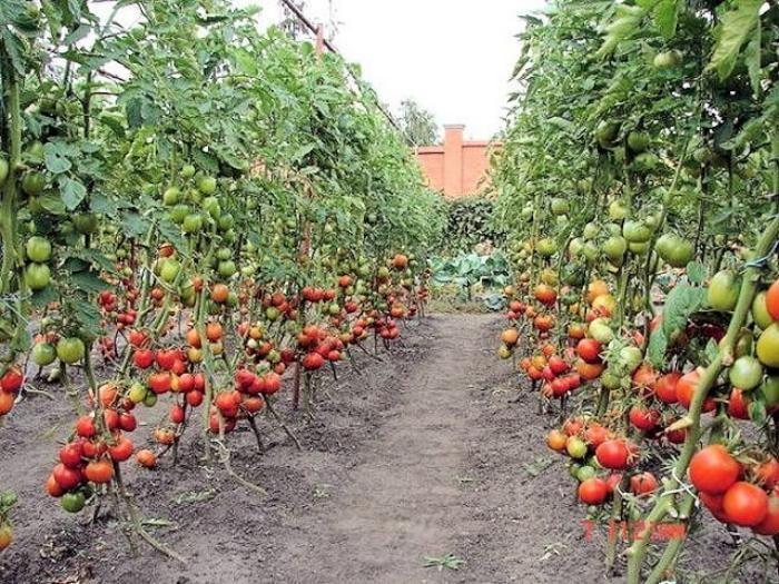 Сажаете помидоры? Обязательно бросайте в лунку – мы расскажем как!