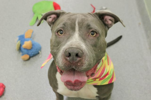 Super Urgent Manhattan - BONNIE aka LAYTON - #A1061810 - **RETURNED 11/10/16** - SPAYED FEMALE BLUE/WHITE PIT BULL MIX, 6 Yrs - STRAY - ONHOLDHERE, HOLD FOR ID Reason STRAY - Intake 11/10/16 Due Out 11/17/16 - ALLOWED ALL HANDLING