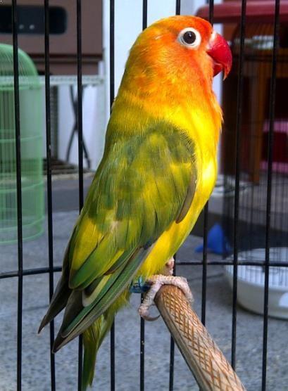 Burung Lovebird Blorok Burung Burung Cantik Binatang