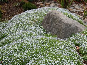 find this pin and more on gardening ideas - Ground Cover Ideas