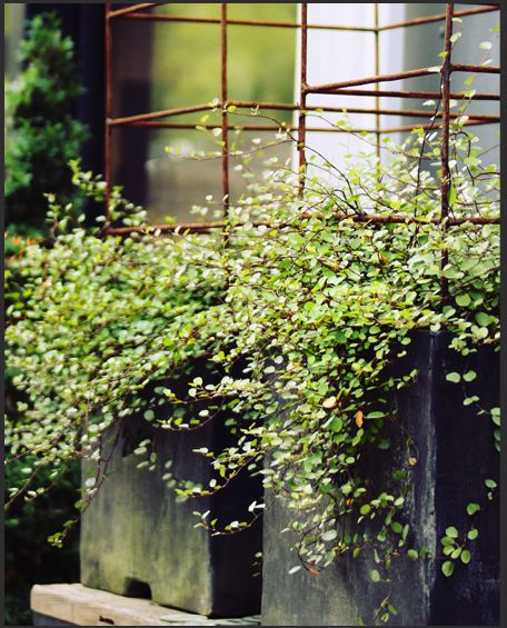 Love the Wire Vine in these planters! Thinking very tall pots outdoor along fence with small vertical wire vine trellis. Then you can add string lighting for special parties!