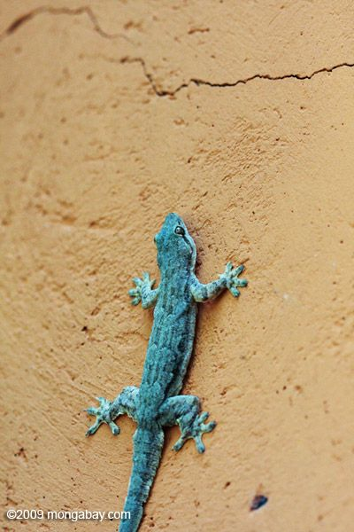 hangin' out on the wall: Spini Tail House, Geckos Hemidactylus, House Geckos, Hemidactylus Frenatus, Blue Creatures, Geckos Tattoo'S, Spiny Tail House, Identity Projects