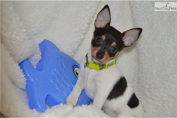 Fox Terrier, Toy puppy for sale near North Mississippi, Mississippi   1fba6403-3461