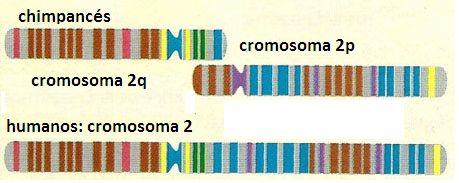 Cromosomas. Chimpancés, gorilas y orangutanes tienen 48 cromosomas (2n), mientras que los humanos tenemos 46. El cromosoma humano número 2 pudo originarse por la fusión de dos cromosomas que en el linaje de los chimpancés permanecieron separados.