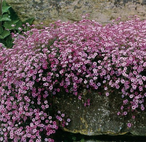 Creeping Pink Babies Breath (Gypsophila repens 'Rosea'). A delightful plant for cascading down rock gardens, walls and dry banks, its greyish leaves are covered by a froth of small pink flowers in sum