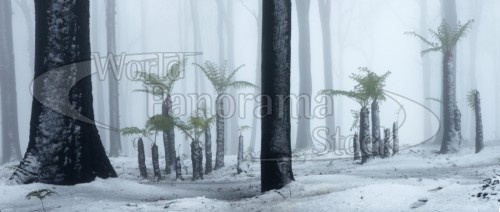 Burnt Trees in Snow by World Panorama Stock