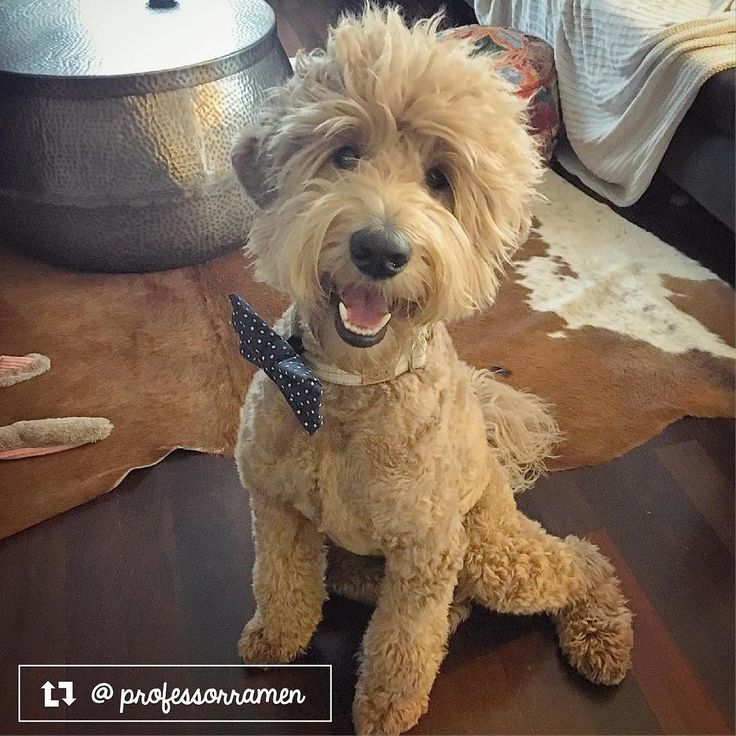 Professor Ramen the Goldendoodle from Austin TX (With