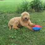 Puppy Finder - Ohio Goldendoodle Breeders