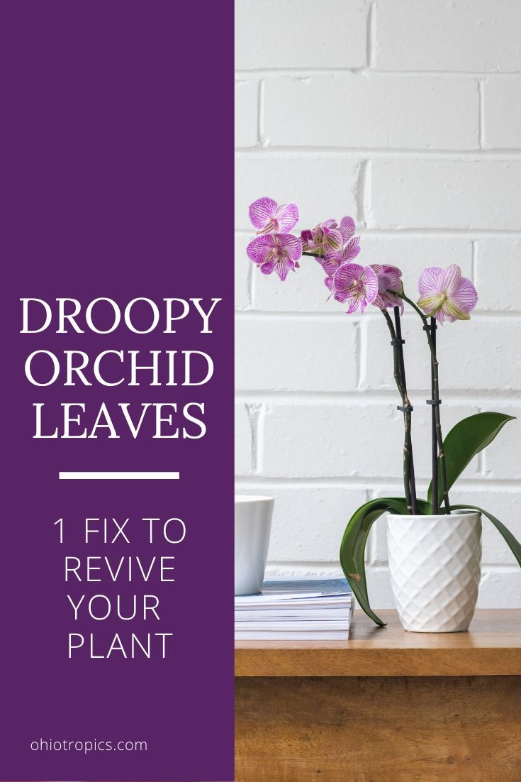 Droopy Orchid Leaves 1 Fix To Revive Your Plant In 2020 Orchid Leaves Orchids House Plant Care