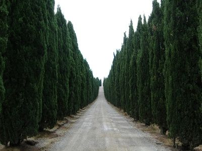 How to Grow Tall Leland Cypress