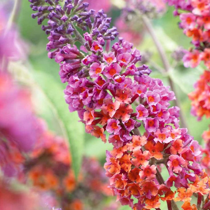 Bicolor Butterfly Bush. Admittedly, I am not a huge fan of the daily maintenance, but they're so wonderful for attracting butterflies, humming birds, hummingbird moths and Goldfinches! Full sun to partial shade. Blooms mid-summer - fall.