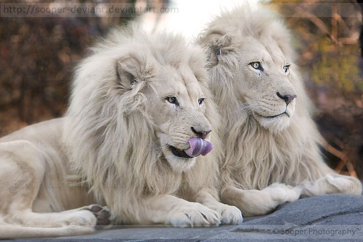 76 best images about white lions on pinterest a new for Jack ryan fine jewelry austin