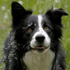 Looks like our dog Checkers.  I've always thought she ia part Border Collie and Black Lab/Siberian Husky.  Our Chex Mix has one ear up and one ear down just like this.       Look