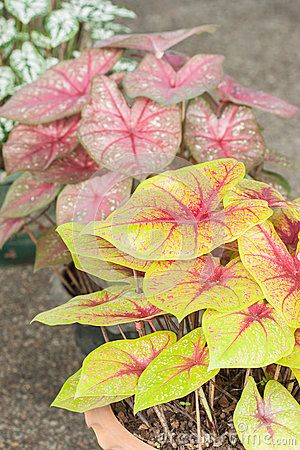 Caladium (rainha da planta frondosa)