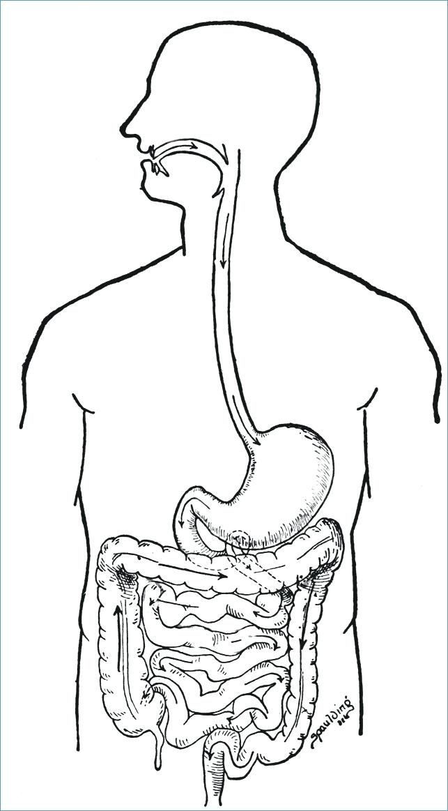 Digestive System Coloring Digestive System Coloring Pages