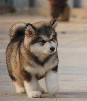 FASHİON TV 2015: alaskan malamute puppy on We Heart It