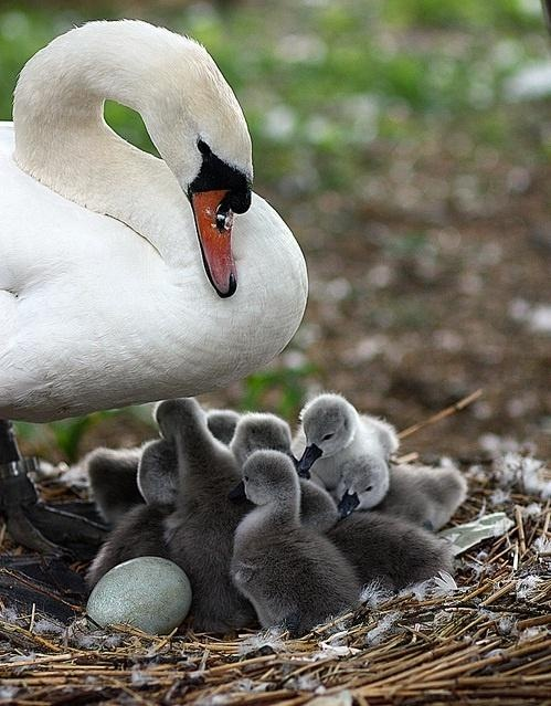 A pen (female) swan and cygnets.