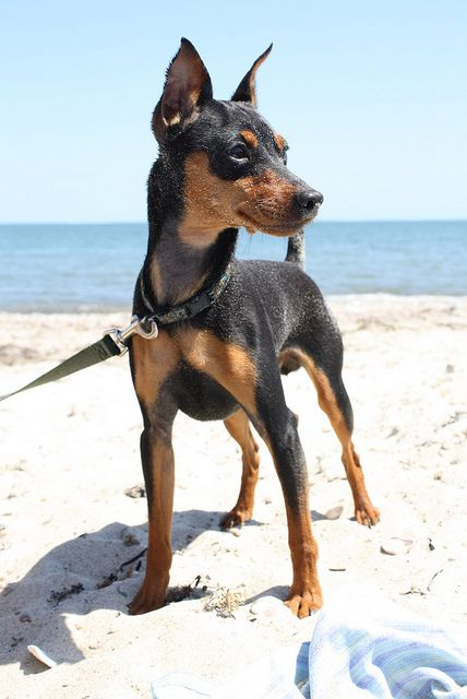 Dog Breeds- Mini Pinscher - News - Bubblews- http://www.bubblews.com/news/969377-dog-breeds-mini-pinscher