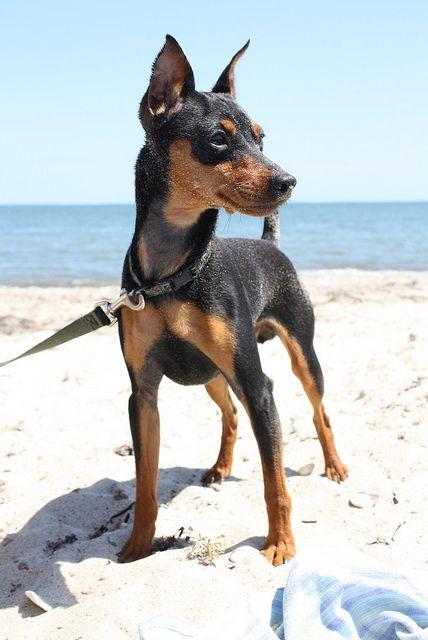 Dog Breeds- Mini Pinscher - News - Bubblews- http://www.bubblews.com/news/969377-dog-breeds-mini-pinscher