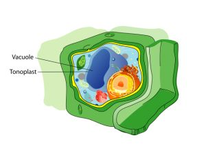 Central Vacuole - https://biologydictionary.net/central-vacuole/