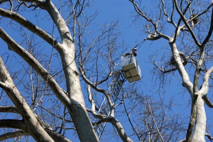 LugojOnline - Lupta cu cioara - etapa cu scara. Angajatii primariei urcati in copaci fara echipament de protectie pentru lucrul la inaltime