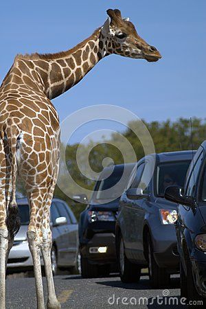 Rear view of a giraffe. The giraffe is walking along an asphalt road between two rows of cars. Blue sky. Brown skin. Dark cars. The gray road. The gray road. Long neck. Profile of the giraffe.