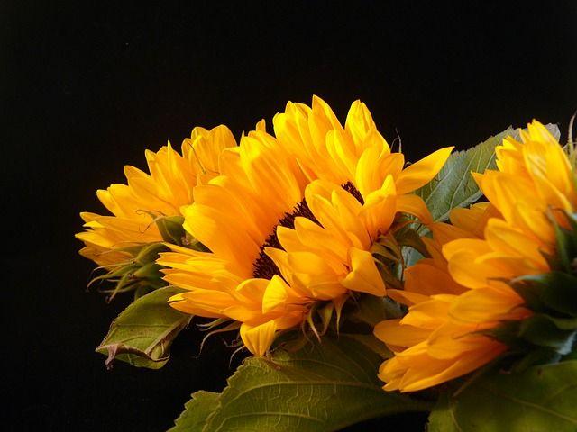 Free photo: Sunflowers, Season, Summer, Black - Free Image on Pixabay - 15390