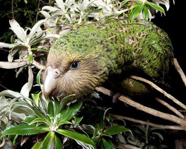 Sirocco, http://www.kakaporecovery.org.nz/