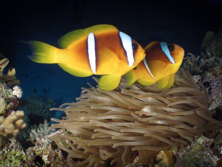 É muito comum encontrarmos peixes-palhaço nos mergulhos em Saint John´s Reef. Local: Umm Arouk – Mar Vermelho. Foto: Henry Fila