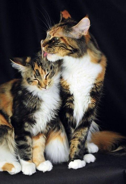 calico kitties: Felin Fur, Andtortoiseshel Cat, Beautiful Cat, Fabulous Felin, Animal Kingdom, Animal Friends, Calico Kitty, Cat Calico, Calico Cat