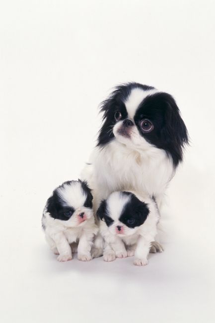 Japanese Chin - Toy/Companion Dog. ~ re-pinned by doggiechecks.com dog breed personal checks and gifts