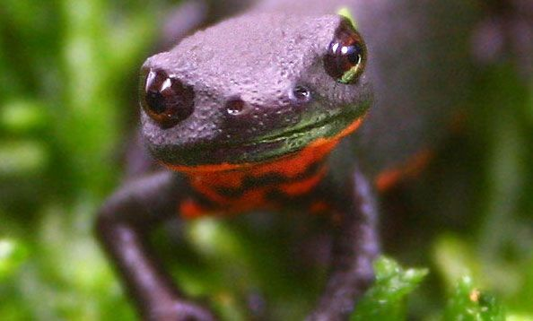 Chinese Fire-Bellied Newt