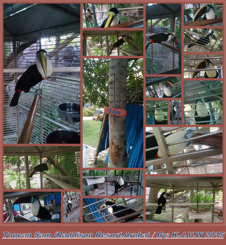 https://flic.kr/p/wg9Ah7 | Toucan Sam | One of the Pet Bird of the Raddison Resort in Aruba, (He's a White-Throated Toucan)