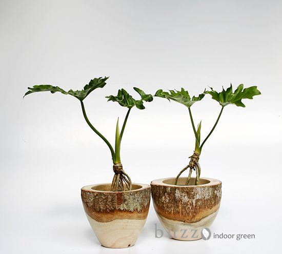 Philodendron selloum / フィロデンドロン セローム | #plantwishlist