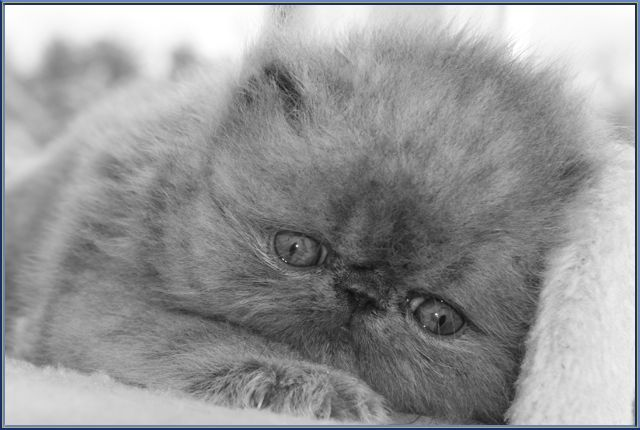Can Down Syndrome Also Occur to Cats? Cats with Down Syndrome usually have round eyes opposed to the normal ones having slightly slanted eyes.  Instead of alert-looking and sharp ears, they also have small or undersized ears that could look droopy or exhausted. Even the shape of their faces also looks slightly off.  Cats that have Down syndrome also sometimes act strangely than their normal counterparts. Cats are agile and graceful in nature but those that experience Down Syndrome are wobbly…