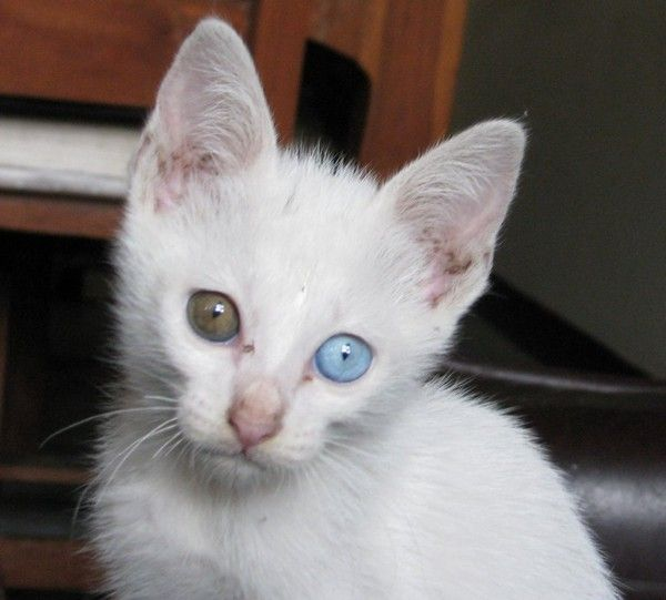 """gato Khao Manee-In Brazil and in several other countries, consider cats with blue eyes and paws, snout and tail dark as the Siamese authentic. However, in Thailand and in areas near the Khao Manee is the only Siamese cat. These cats, whose name means """"white jewel,"""" was the noble race of the ancient Kingdom of Siam Legend has it that the penalty for theft of these cats was death."""