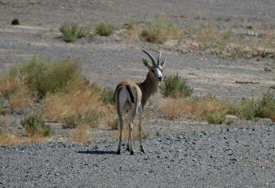 Male goitered gazelle