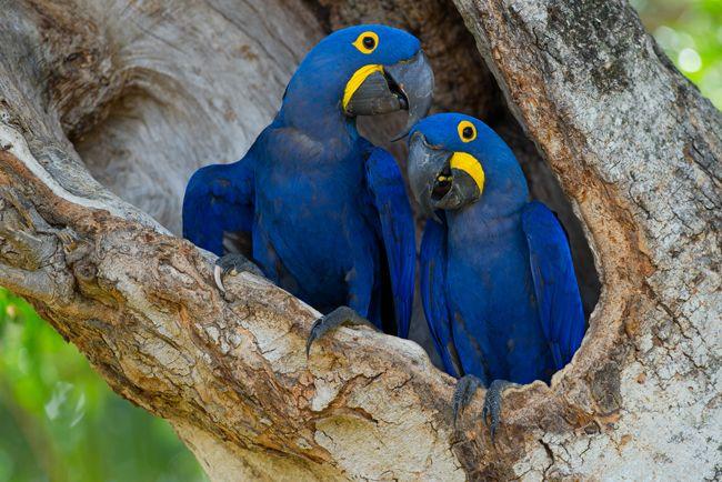 De olho nas aves — A arara-azul-grande ('Anodorhynchus hyacinthinus'), encontrada originalmente desde a floresta amazônica até o pantanal, enfrenta sério risco de extinção. (foto: João Quental)