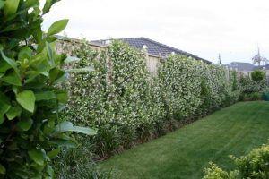pianta per siepi da giardino, gelsomino rampicante