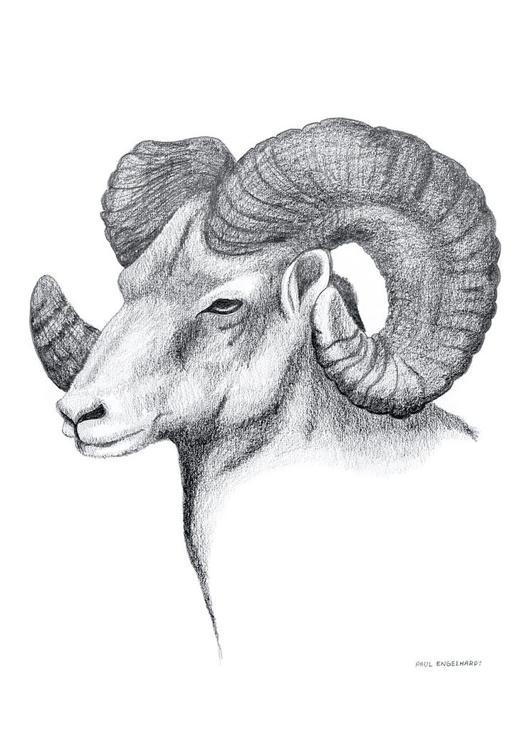'Wildlife' series. 'Ram'. Pencil on paper. October 2013. Photography byBrad Griffin.