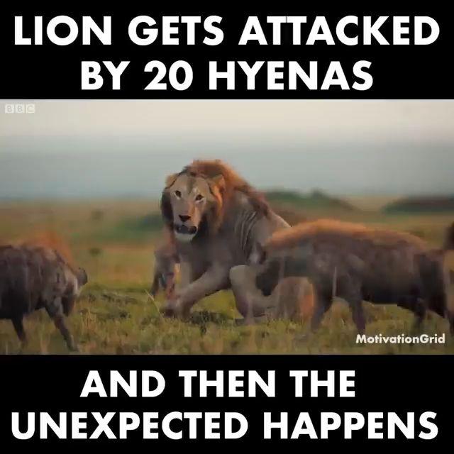 León se une por 20 hienas …   – Animals
