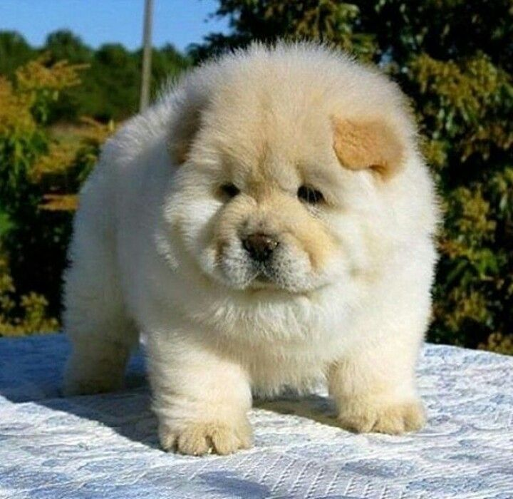 Great Boo Chubby Adorable Dog - e4b27cce98521285515d83f80d76f56f--cutest-dogs-adorable-puppies  Picture_879100  .jpg