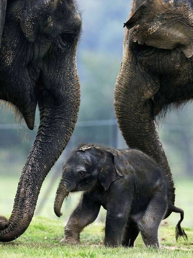 Elephants console each other in times of distress - Science - News - The Independent