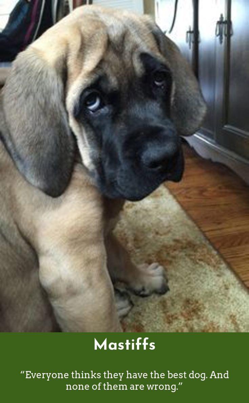 7 Best Dogs Breeds For People Allergies Mastiff Puppies