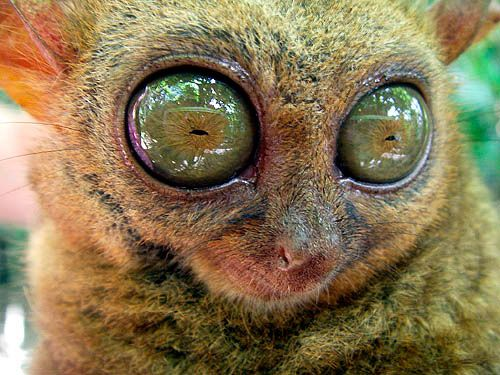 Tarsiers are the only extant entirely carnivorous primates: they are primarily insectivorous, and catch insects by jumping at them. They are also known to prey on birds, snakes, lizards, and bats.