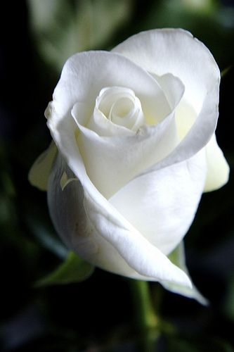 One White Rose - Used as a gesture of strong emotion and devotion, the tradition of sending one single white rose is practiced by lovers, people who share great esteem and love for one another, and others who want to declare a message of love and hope. The white rose meaning can also mean spiritual love, charm and humility.