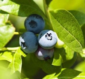 Great info here: Blueberries are acid lovers and will respond well to the addition of coffee grounds, wood ash, or Epsom salts.Watering the ground around the blueberries with a solution of one tablespoon of white vinegar to one gallon of water can also increase soil acidity.