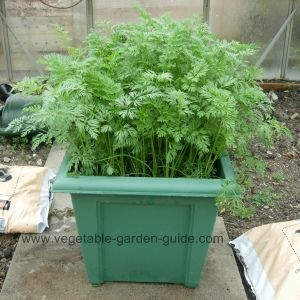 The carrots are beginning to race away when being grown in the square pot.