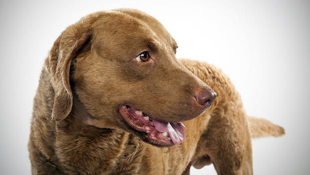 Chesapeake Bay Retriever...apparently 99% match based on animal planet's breed questionnaire  http://animal.discovery.com/breed-selector/dog-breeds/sporting/chesapeake-bay-retriever.html
