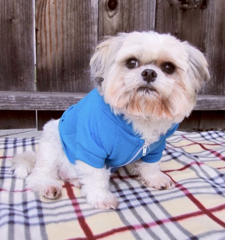 Baby shih tzu. Check out fun graphic zip hoodies at itraits.com.